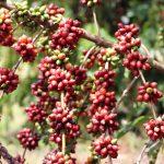 Iniciada  oficialmente a colheita do café em Rondônia